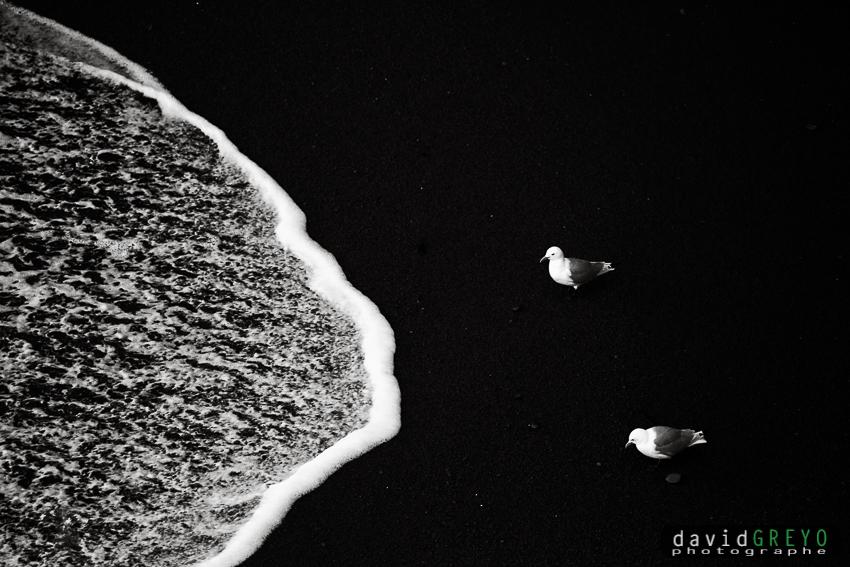 Mouette tridactyle sur une plage volcanique - Islande
