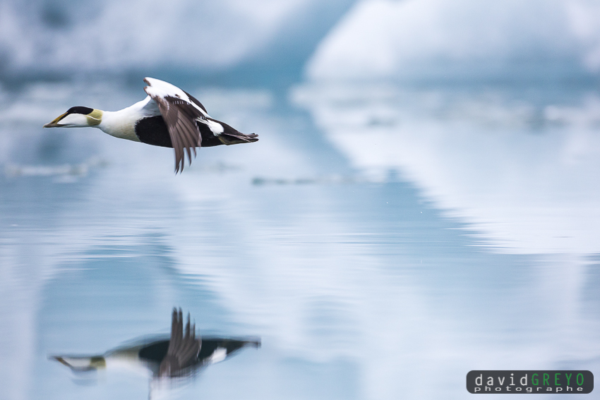 Eider à duvet dans une lagune glaciaire - Islande