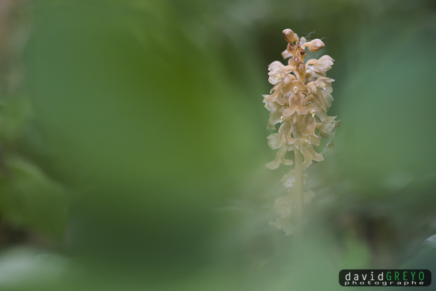 Neottia nidus-avis