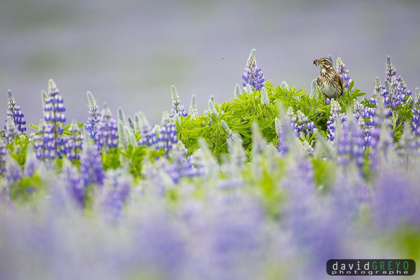 Grive mauvis dans les lupins - Islande