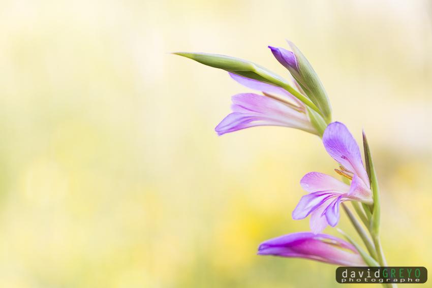 Gladiolus gallaecicus