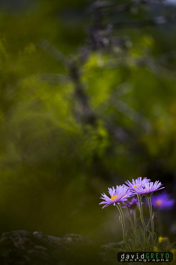 Aster alpinus cebennensis