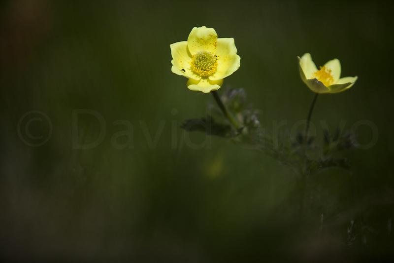 Aquilegia alpina apifolia