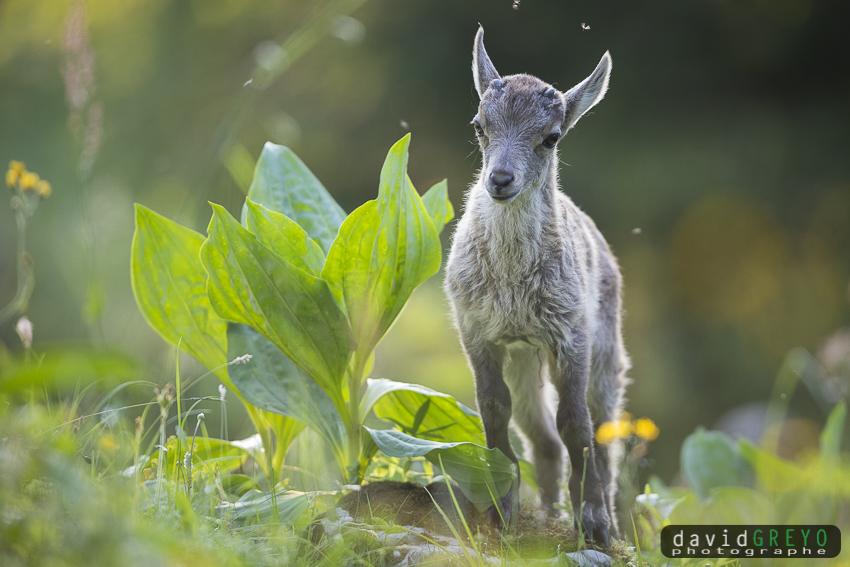 Capra ibex