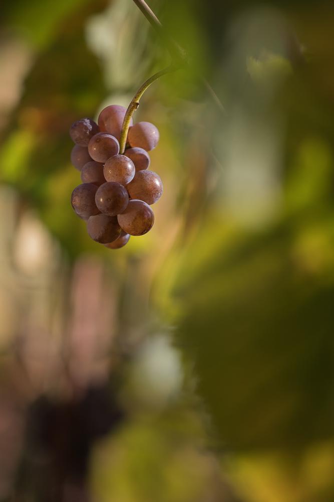2018.10.10_Grappe_raisin blanc_feuillage__MG_1917