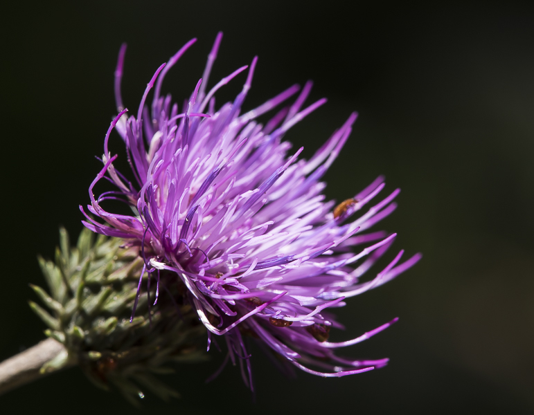 Circe à fleur lanceolée