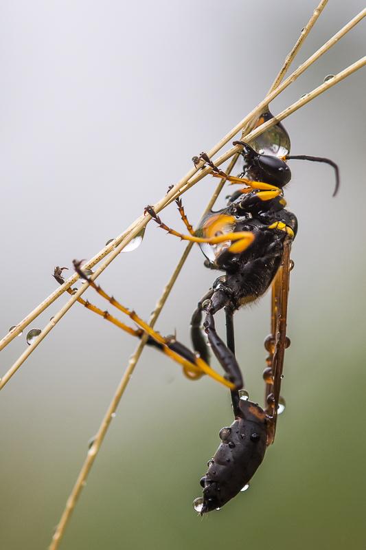 Ichneumoninae