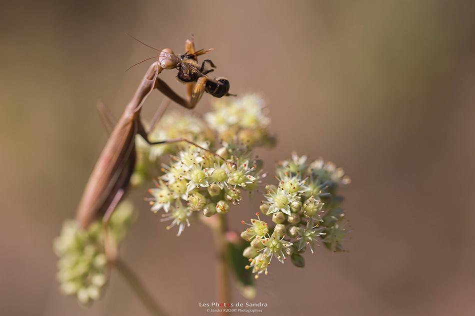 Mantes Branson David 2018-09-15-6355180915Femelle dévorant une abeille