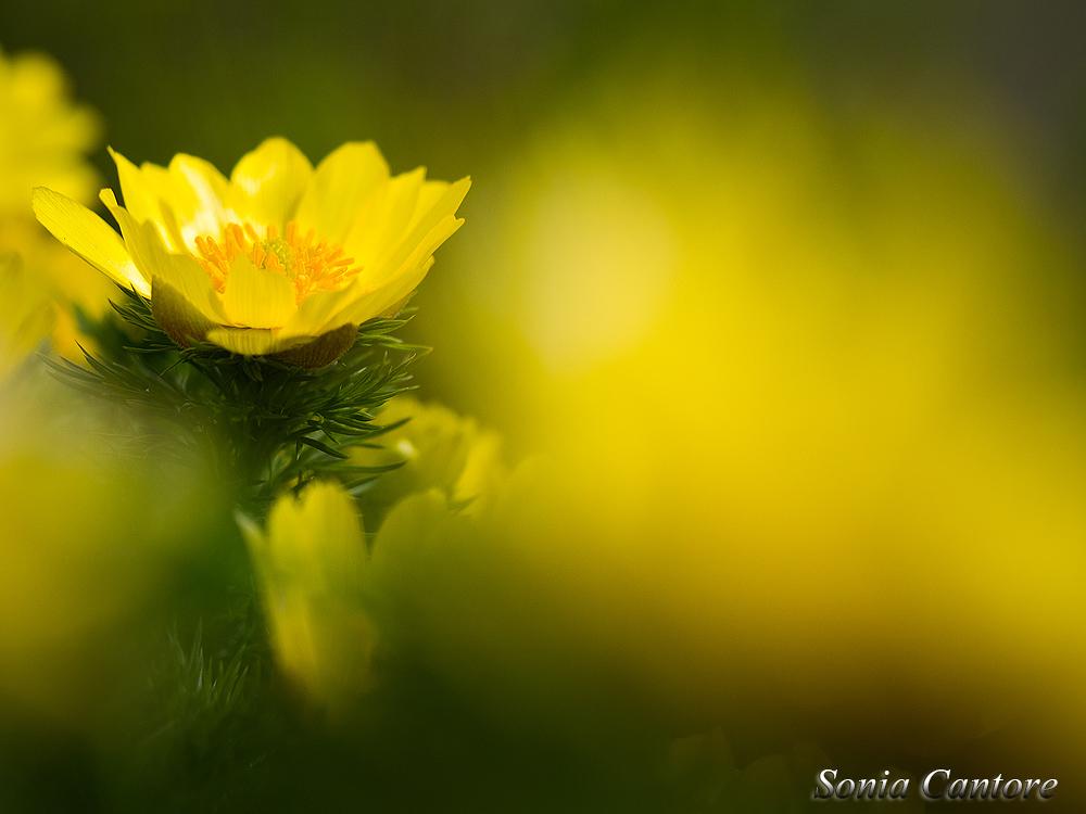 """Adonis printanier - stage """"Premières fleurs du Valais"""" © Sonia Cantore"""