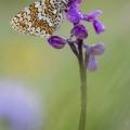 papillon Mélithée du plantain