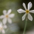 Narcisse-2