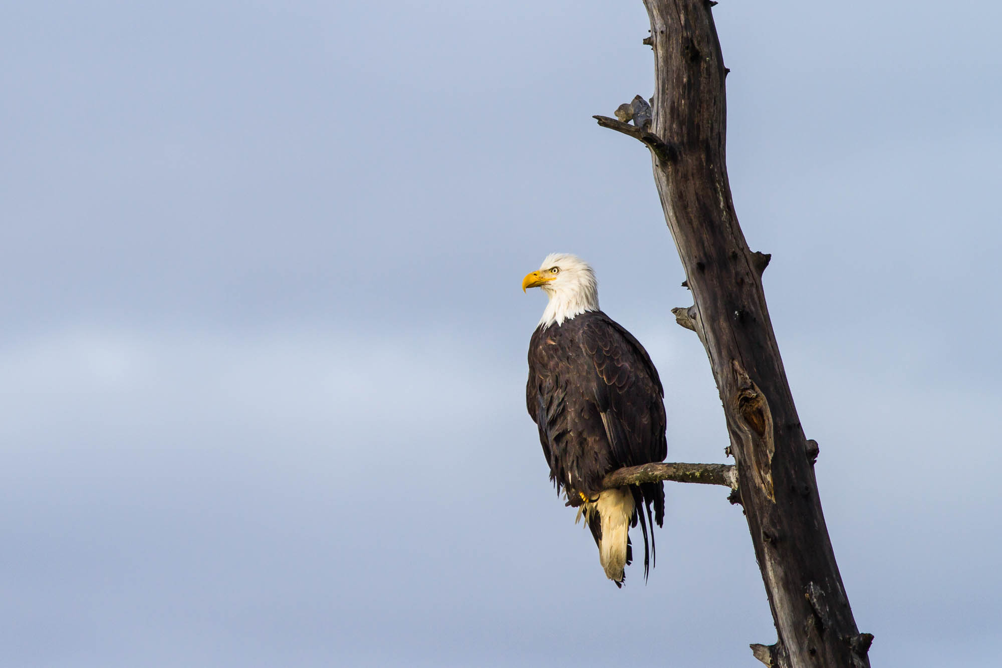 Alaska Chilkat Bald Eagle Preserve, Haines, Alaska, USA