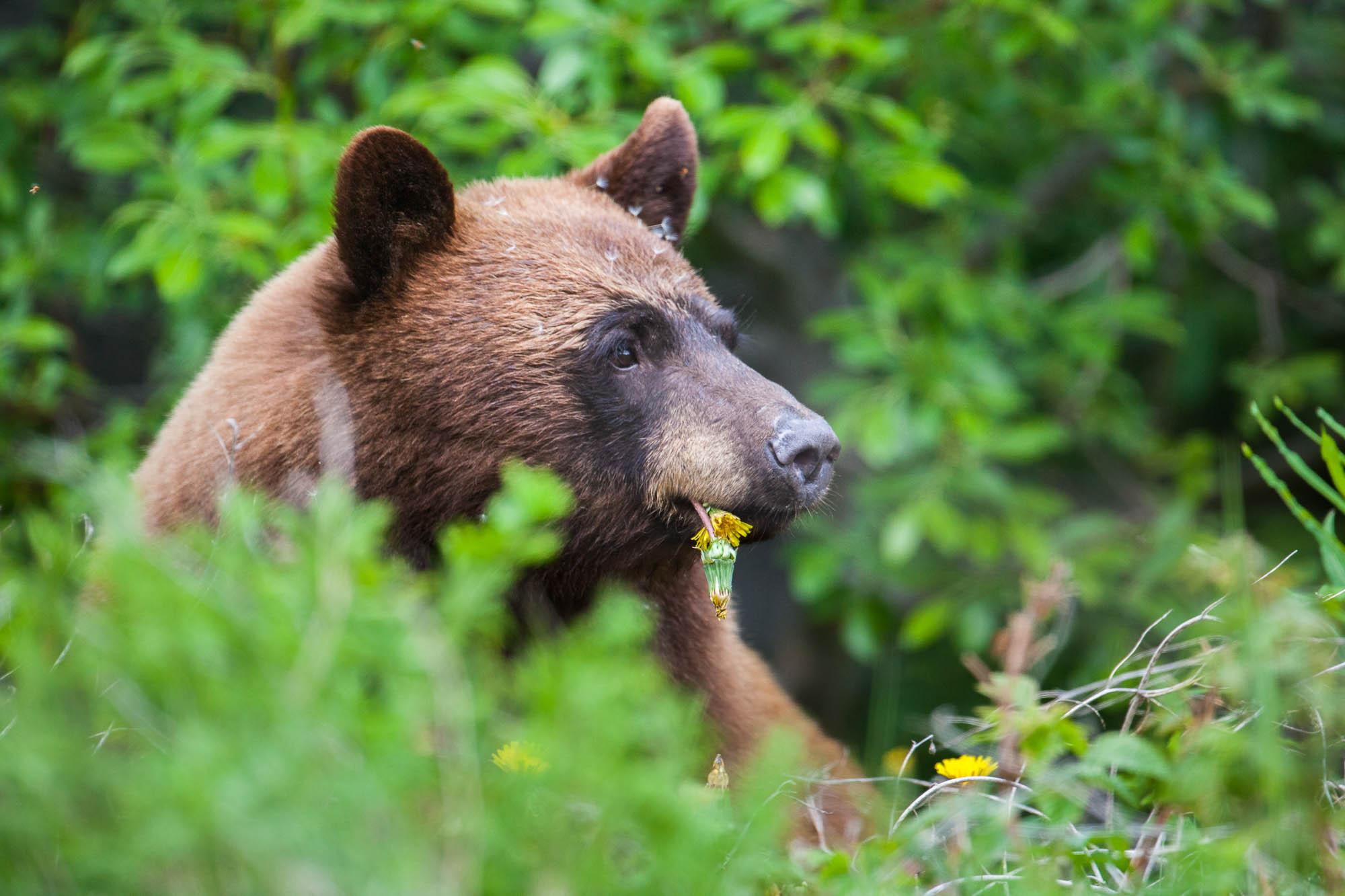 1_Black-Bear