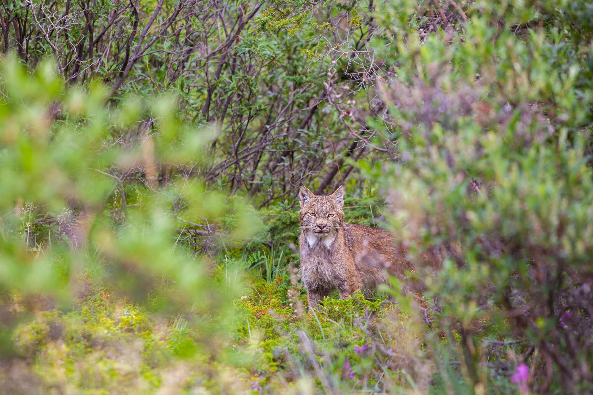1_Canadian-Lynx