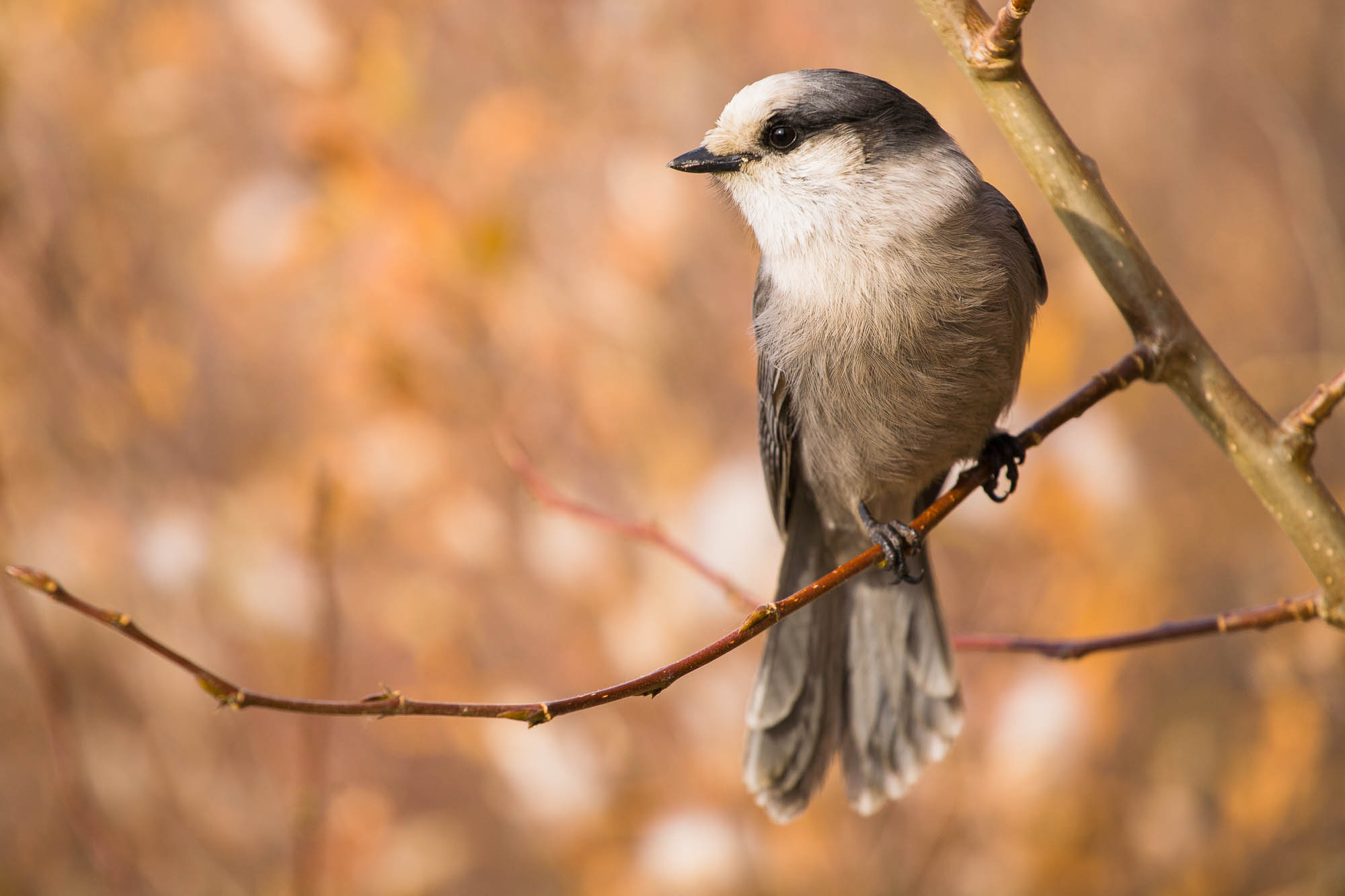 Gray jay adult perched on a branch,  in autumn, Yukon, Canada