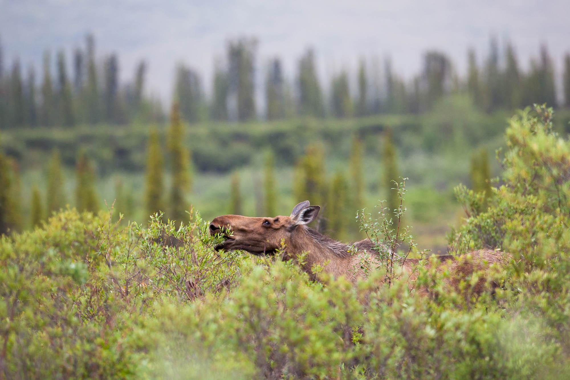 1_Moose-Yukon