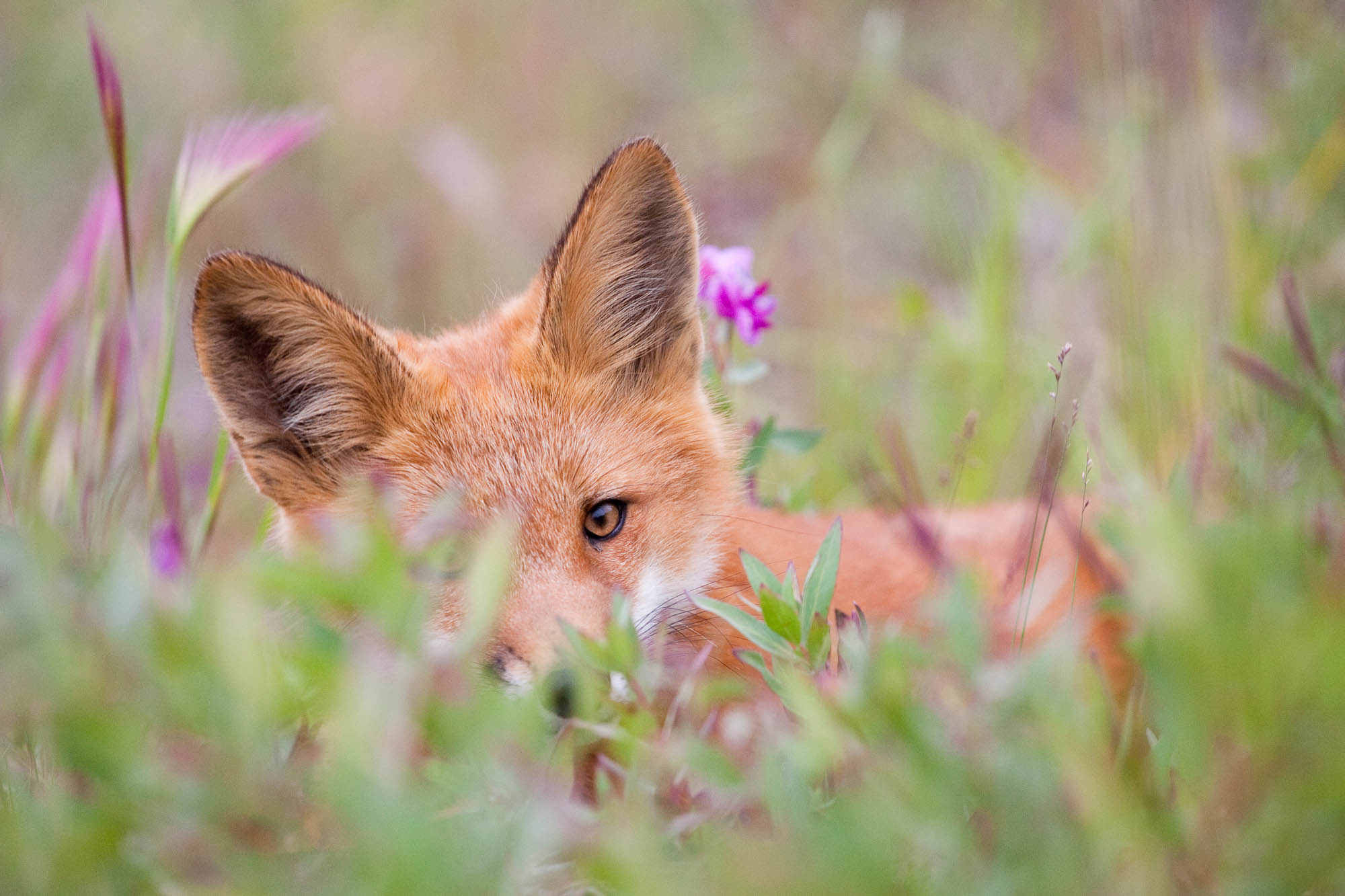 Red fox kit resting in flowers, Tombstone Territorial Park, Yukon, Canada