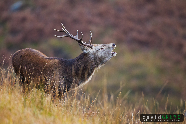 Cerf bramant