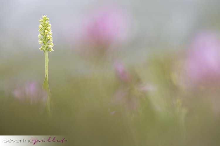 Orchis miel