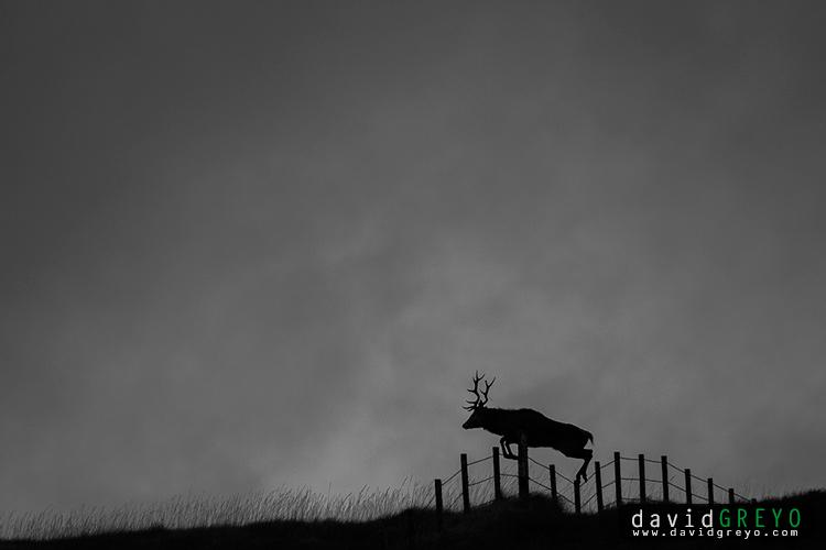 Cerf sautant une clôture